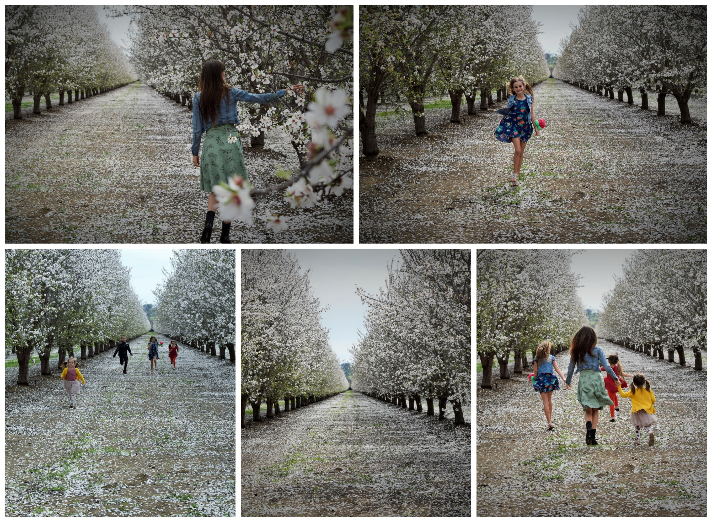 almond tree (2)