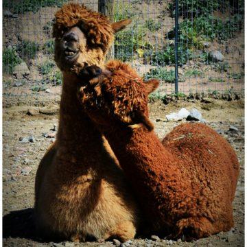 Let's Celebrate : Alpacas