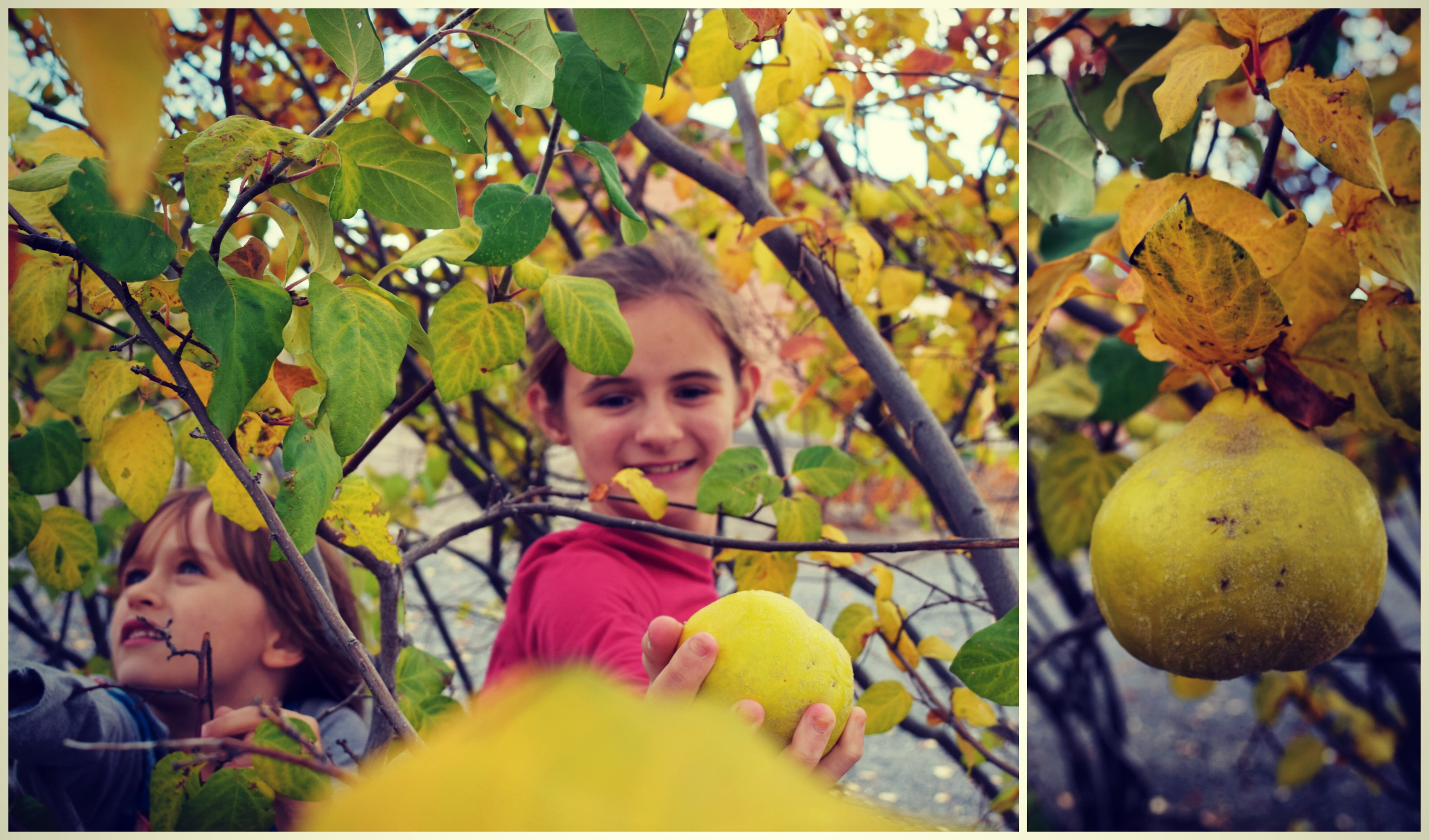picking-quince-fruit